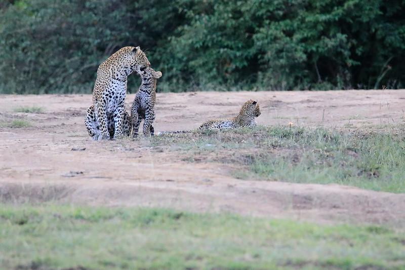 Leopard_Cubs_Mara_2018_Asilia__0117