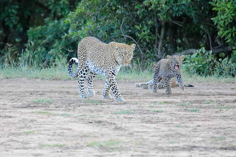 Leopard_Cubs_Mara_2018_Asilia__0110