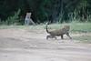 Leopard_Cubs_Mara_2018_Asilia__0131