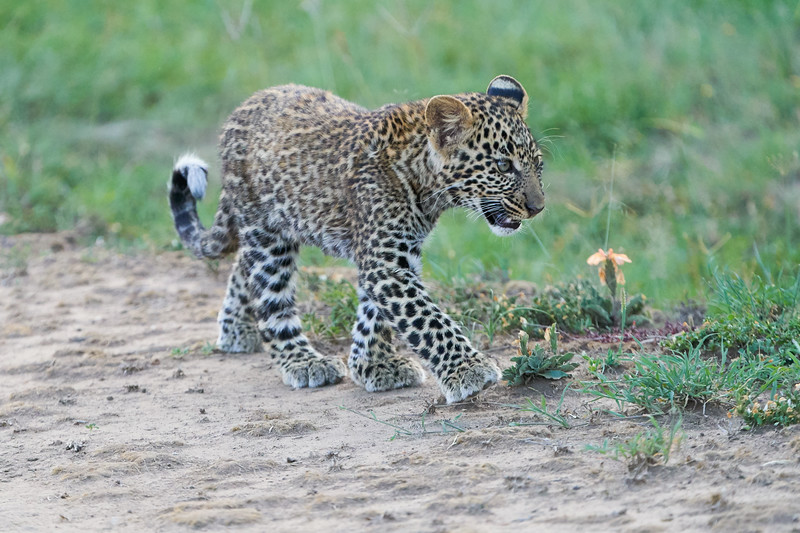 Leopard_Cubs_Mara_2018_Asilia__0241