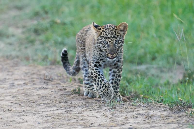 Leopard_Cubs_Mara_2018_Asilia__0251