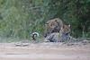 Leopard_Cubs_Mara_2018_Asilia__0162