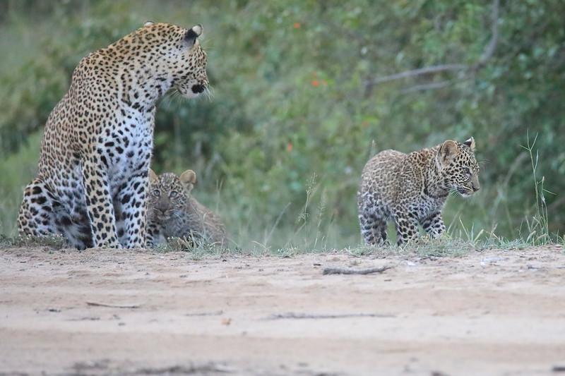 Leopard_Cubs_Mara_2018_Asilia__0135
