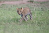 Leopard_Cubs_Mara_2018_Asilia__0017