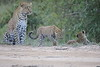 Leopard_Cubs_Mara_2018_Asilia__0145