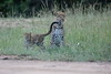 Leopard_Cubs_Mara_2018_Asilia__0121