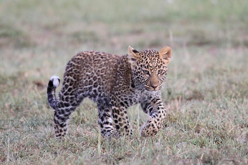 Leopard_Cubs_Mara_2018_Asilia__0029
