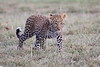 Leopard_Cubs_Mara_2018_Asilia__0030
