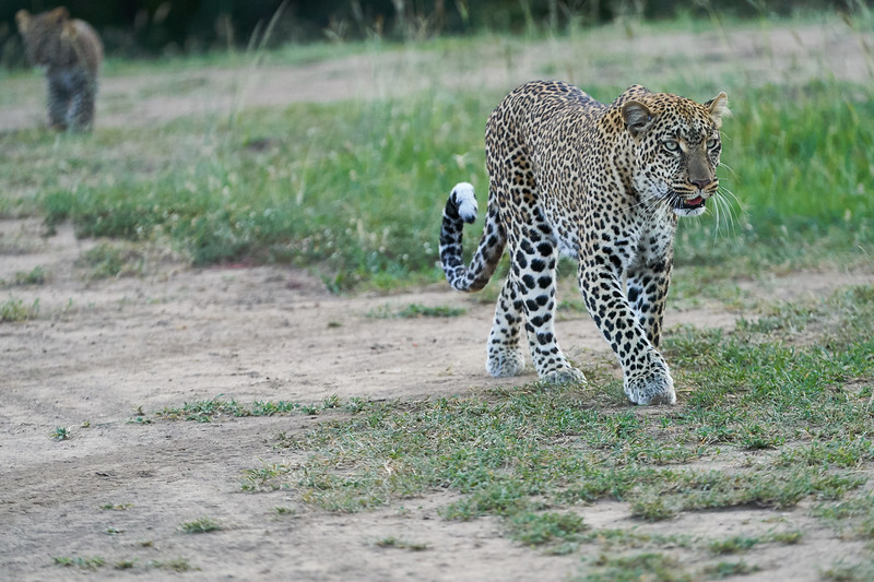Leopard_Cubs_Mara_2018_Asilia__0230