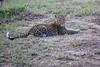 Leopard_Cubs_Mara_2018_Asilia__0069