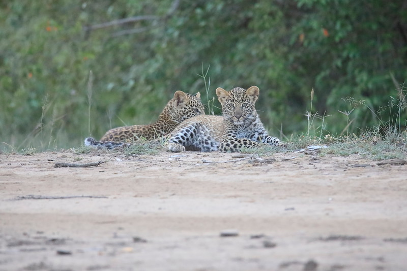 Leopard_Cubs_Mara_2018_Asilia__0148