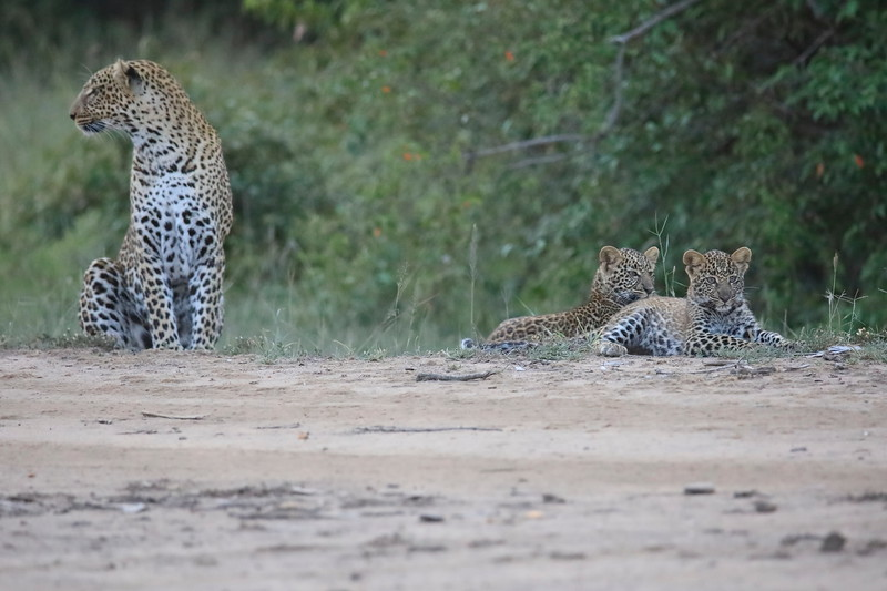 Leopard_Cubs_Mara_2018_Asilia__0150