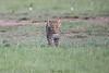 Leopard_Cubs_Mara_2018_Asilia__0014