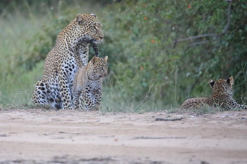 Leopard_Cubs_Mara_2018_Asilia__0141