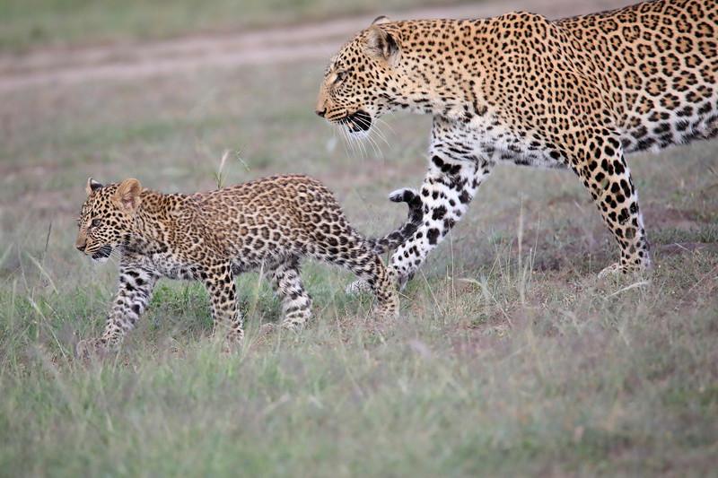 Leopard_Cubs_Mara_2018_Asilia__0048