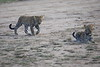 Leopard_Cubs_Mara_2018_Asilia__0089