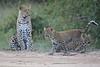 Leopard_Cubs_Mara_2018_Asilia__0170