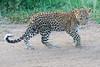 Leopard_Cubs_Mara_2018_Asilia__0223