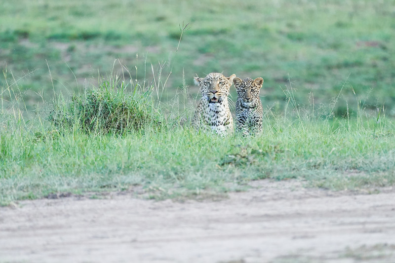 Leopard_Cubs_Mara_2018_Asilia__0221