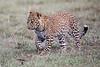 Leopard_Cubs_Mara_2018_Asilia__0033