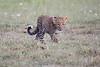 Leopard_Cubs_Mara_2018_Asilia__0026