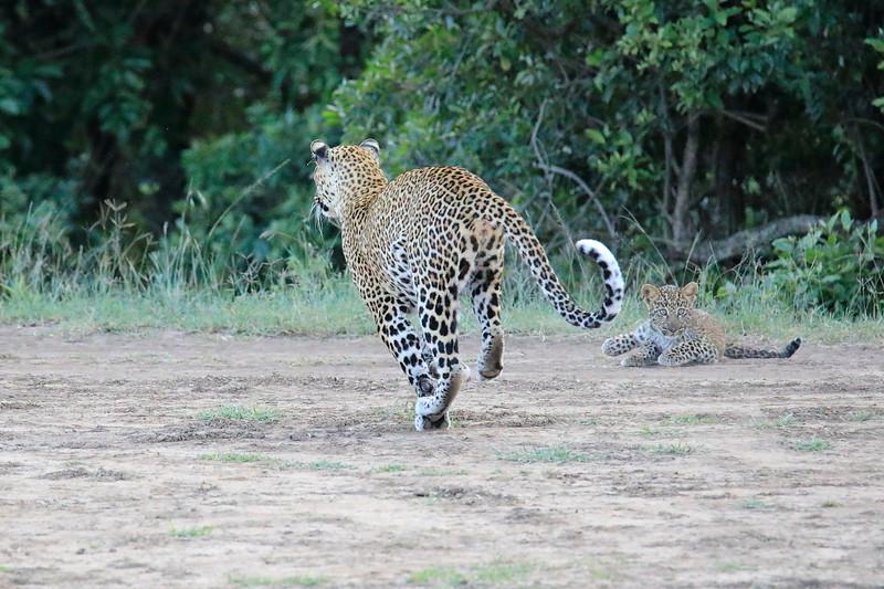 Leopard_Cubs_Mara_2018_Asilia__0116