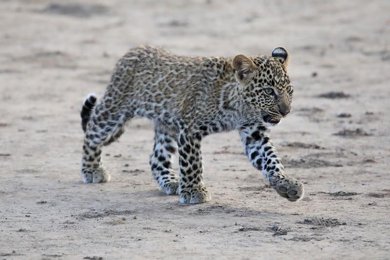 Leopard_Cubs_Mara_2018_Asilia__0102