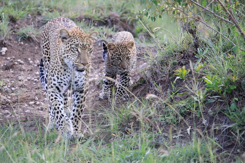 Leopard_Cubs_Mara_2018_Asilia__0064