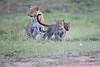 Leopard_Cubs_Mara_2018_Asilia__0072
