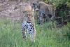 Leopard_Cubs_Mara_2018_Asilia__0066