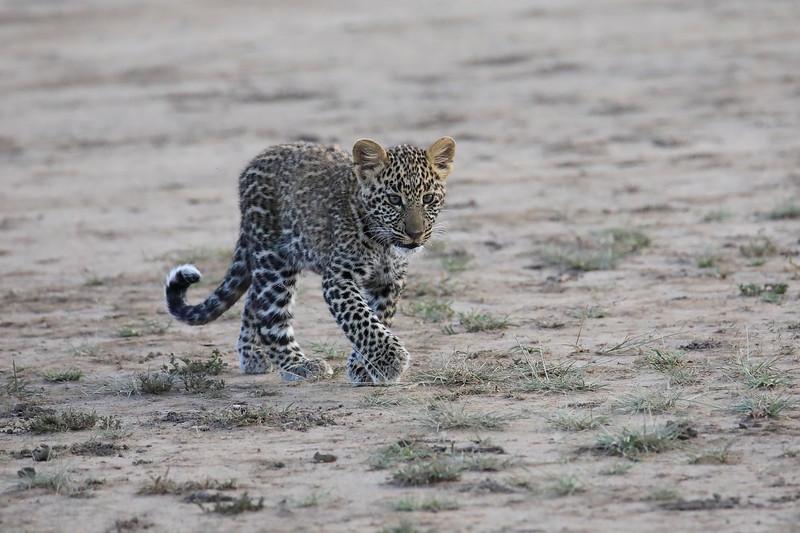 Leopard_Cubs_Mara_2018_Asilia__0088