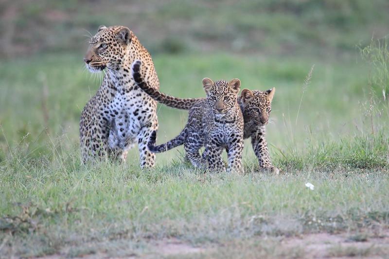 Leopard_Cubs_Mara_2018_Asilia__0073