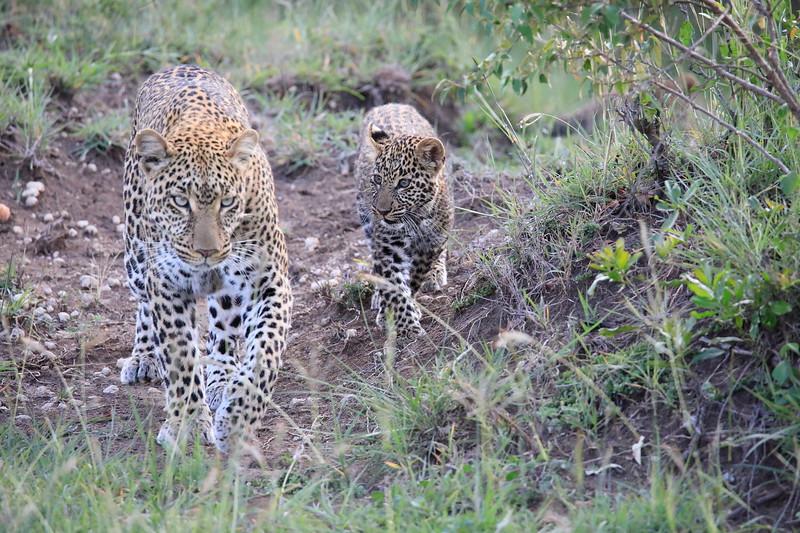 Leopard_Cubs_Mara_2018_Asilia__0062