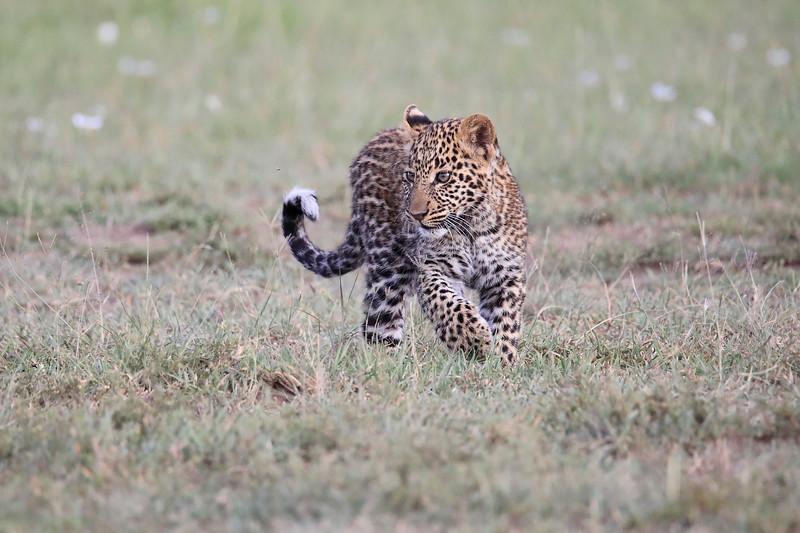 Leopard_Cubs_Mara_2018_Asilia__0027