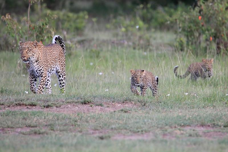Leopard_Cubs_Mara_2018_Asilia__0005