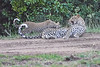 Leopard_Cubs_With_Older_Brother_Mara_2018_Asilia__0020