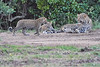Leopard_Cubs_With_Older_Brother_Mara_2018_Asilia__0052