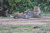 Leopard_Cubs_With_Older_Brother_Mara_2018_Asilia__0007