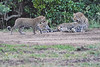 Leopard_Cubs_With_Older_Brother_Mara_2018_Asilia__0053