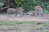 Leopard_Cubs_With_Older_Brother_Mara_2018_Asilia__0054