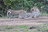 Leopard_Cubs_With_Older_Brother_Mara_2018_Asilia__0021