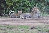 Leopard_Cubs_With_Older_Brother_Mara_2018_Asilia__0029