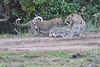 Leopard_Cubs_With_Older_Brother_Mara_2018_Asilia__0017