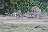 Leopard_Cubs_With_Older_Brother_Mara_2018_Asilia__0035