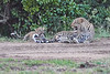 Leopard_Cubs_With_Older_Brother_Mara_2018_Asilia__0039