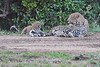 Leopard_Cubs_With_Older_Brother_Mara_2018_Asilia__0041
