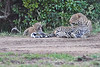 Leopard_Cubs_With_Older_Brother_Mara_2018_Asilia__0045
