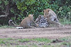 Leopard_Cubs_With_Older_Brother_Mara_2018_Asilia__0009