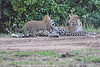 Leopard_Cubs_With_Older_Brother_Mara_2018_Asilia__0006