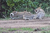 Leopard_Cubs_With_Older_Brother_Mara_2018_Asilia__0022